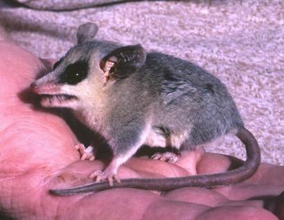 grayish-mouse-opossum-91007b66-7276-46f7-938d-513f1b90785-resize-750-2019-10-10-10-01.jpg